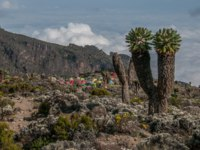 Танзания. Гора Килиманджаро. The Barranco campsite on Kilimanjaro with some large Senecio trees on the right. Фото mountaintreks - Depositphotos