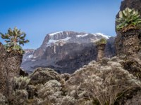 Танзания. Гора Килиманджаро. Giant senecio decorating Kilimanjaro slopes, Tanzania, Africa. Фото Sopotniccy - Depositphotos