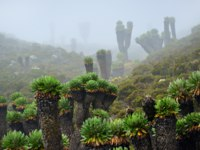Endemic plants are Senecio Kilimanjari shown at dawn. This plant is grown only around Kilimanjaro mount. Early evening fog. Tanzania, Africa. Фото znm666 - Depositphotos