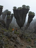 Trees are Senecio Kilimanjari. This tree is grown only around Kilimanjaro mount. Фото Peterzahar - Depositphotos
