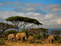 Клуб путешествий Павла Аксенова. Танзания. Гора Килиманджаро. An elephant family walking in front of Mt. Kilimanjaro. Фото dmussman - Depositphotos