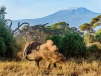 Elephant in Kenya with Kilimanjaro mount in the background, Africa. Фото dvrcan - Depositphotos