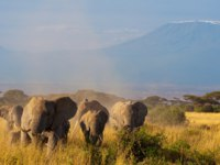 Elephant family walking in the Amboseli National Park in Kenya, with the Kilimanjaro. Francois_Gagnon - Depositphotos