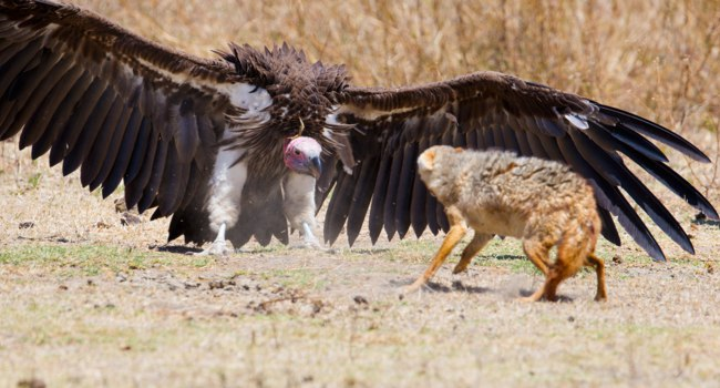 Rivalry or conflict between a large vulture and wild dog. Wild animals in Ngorongoro, Tanzania. Фото kjekol - Depositphotos