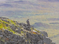 США. Аляска. Gyrfalcon on a Rocky Outcrop in Denali National Park in Alaska. Фото wildnerdpix - Depositphotos