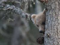 США. Аляска. An Alaskan brown bear cub peeking around a tree not far from Brooks Falls in Katmai National Park. Фото EEI_Tony - Depositphotos