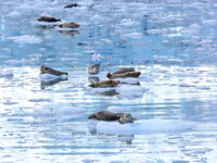 США. Аляска. Harbor Seals in an icy filled bay near the Surprise Glacier in Prince William Sound. Фото wildnerdpix - Depositphotos