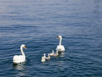 Италия. Озеро Гарда.Family of Swans with Cygnets on a Blue Lake. Lago Di Garda, Italy. Фото  Mario Cupkovic - Depositphotos