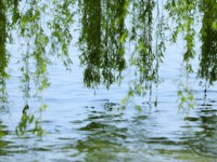 Италия. Озеро Гарда. Green branches of a willow on the water . Фото  Tatiana Strygina - Depositphotos