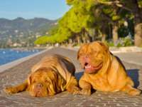 Италия. Озеро Гарда. Two dogs lying on a paved alley bear the shore. Фото  vitalytitov - Depositphotos