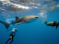 Мальдивы. Soneva Fushi. Китовая акула. Whale shark and underwater photographer. Фото Krzysztof Odziomek - Depositphotos
