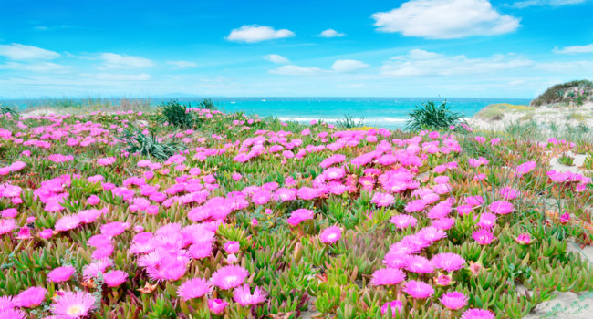 Сардиния. Hottentots Fig flowers on a dune sand in Sardinia. Фото  AlKan32 - Depositphotos