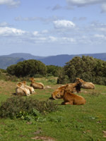 Италия. Сардиния. Cows in the southeast of Sardinia. Фото Lothar Hinz - Depositphotos