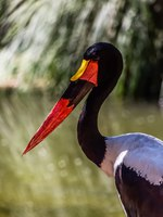 Аист седлоклювый ябиру (лат. Ephippiorhynchus senegalensis). Detailed view of a african Saddle-billed Stork. Фото arq.nuno.almeida-Dep