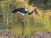 Аист седлоклювый ябиру (лат. Ephippiorhynchus senegalensis). A saddle-billed stork, with its prey, a fish, in a river. Фото dpreezg-Depositphotos