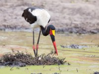 Аист седлоклювый ябиру (лат. Ephippiorhynchus senegalensis). Saddle billed stork hunting for frogs in a shallow pond. Фото AOosthuizen-Depositphotos