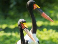 Аист седлоклювый ябиру (лат. Ephippiorhynchus senegalensis). Close up portrait of a colorful saddle-billed stork standing in a green meadow. Фото Sander-Deposit
