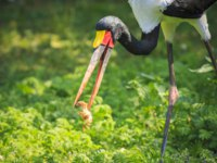 Аист седлоклювый ябиру (лат. Ephippiorhynchus senegalensis). Close up portrait of a colorful Saddle-billed stork eating and feeding a small. Фото Sander-Dep
