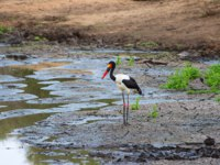 Аист седлоклювый ябиру (лат. Ephippiorhynchus senegalensis). Saddle billed stork in a dry waterhole. Фото photogallet-Depositphotos