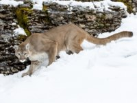 Блог Павла Аксенова. Пума (лат. Puma concolor). A mountain lion hunts for prey in a snowy forest habitat. Фото actionsports - Depositphotos