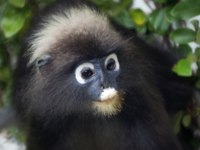 Очковый тонкотел (лат. Trachypithecus obscurus). The Datai Langkawi - Dusky Leaf Monkeys