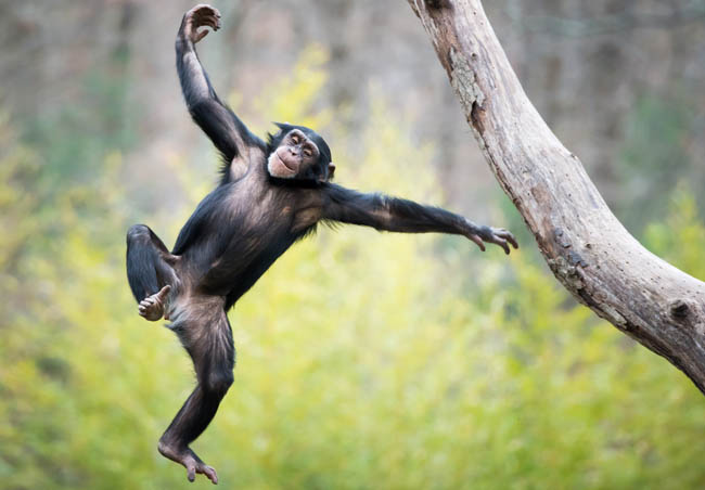 Знакомьтесь - фотограф Абеселом Зери (Abeselom Zerit). Young Chimpanzee Swinging and Jumping from a Tree. Фото abzerit - Depositphotos