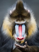 Знакомьтесь - фотограф Абеселом Зери (Abeselom Zerit). A Frontal Portrait of a Male Mandrill Looking at Its Hand. Фото abzerit - Depositphotos