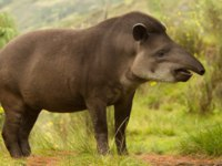 Патагония. Adult female mountain tapir in the wood. Shot in the Ecuadorian highlands of Andes. Фото ammmit - Depositphotos
