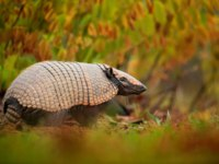 Патагония. Southern Naked-tailed Armadillo, Cabassous unicinctus, strange rare animal with shell in the nature habitat, Brazil. Фото ondrej-Depositphotos