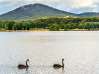 Black swans on Lake Burley Griffin in Canberra, Australian Capital Territory. Фото Leonid_Andronov - Depositphotos
