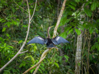 Anhinga or snakebird sittting over a branch, inside of the amazon rainforest in the Cuyabeno National Park in Ecuador. Фото pxhidalgo - Depositphotos