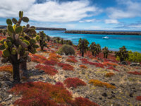 Эквадор. Галапагосские острова. Galapagos Islands. Endemic cactuses in Plaza Sur island, Galapagos Islands, Ecuador. Фото RPBMedia - Depositphotos