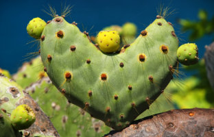 Galapagos prickly pear in heart shape on Rabida Island, Galapagos National Park, Ecuador. It is endemic to the Galapagos Islands. Фото DonyaNedomam - Depositphotos