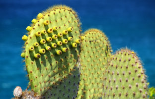 Galapagos prickly pear on Rabida Island in Galapagos National Park, Ecuador. It is endemic to the Galapagos Islands. Фото DonyaNedomam - Depositphotos