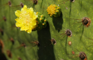 Close-up of Galapagos prickly pear flower on Rabida Island, Galapagos National Park, Ecuador. Фото DonyaNedomam - Depositphotos