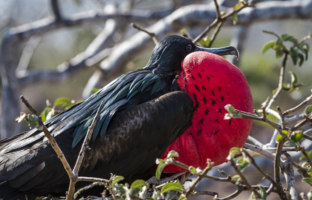 Эквадор. Галапагосские острова. Фрегаты (лат. Fregata). Frigate bird of Galapagos islands. Фото sergeydolya - Depositphotos
