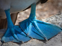 Эквадор. Галапагосские острова. Голубоногая олуша (Sula nebouxii). Blue footed booby's feet in the Galapagos Islands, Ecuador. Фото pxhidalgo - Depositphotos
