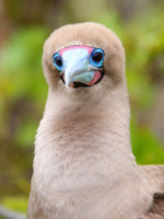 Эквадор. Галапагосские острова. Portrait of Red-footed Booby (Sula sula) on Genovesa island, Galapagos National Park, Ecuador. Фото DonyaNedomam - Depositphotos