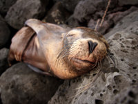 Эквадор. Галапагосские острова. closeup of a Baby sea lion sleeping in the Galapagos Islands. Фото pxhidalgo - Depositphotos