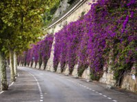 Лазурный берег Франции. Вильфранш. Mediterranean flowering shrub bougainvillea climbing stone wall at road in Villefranche-sur-Mer, France. Фото elenathewise-D