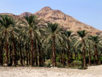 Израиль. Национальный природный парк Эйн-Геди. Plantation of palm trees at Ein Gedi in the Dead Sea area, Israel. Фото lucidwaters-Depositphotos