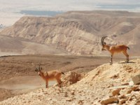 Two ibexes on the cliff at Ramon Crater (Makhtesh Ramon) in Negev Desert in Israel. Фото rglinsky - Depositphotos