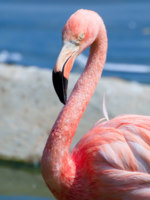 Фламинго. Pink flamingo portrait. Фото Alexey Repka - Depositphotos