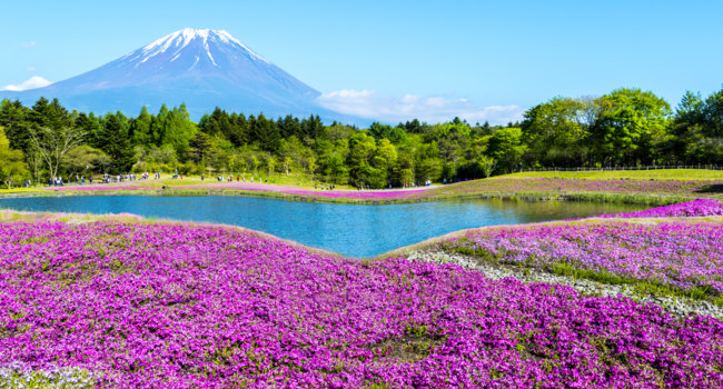 Япония. Гора Фудзияма. Fuji with the field of pink moss at Shibazakura festival, Yamanashi, Japan. Фото nicholashan - Depositphotos