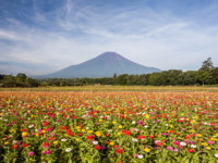 Field of cosmos flowers and Mountain Fuji in summer season at Yamanakako Hanano Miyako Koen. Фото Torsakarin - Depositphotos