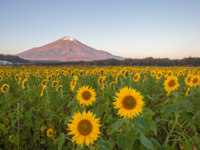 Япония. Гора Фудзияма. Sunflower Field and Mountain Fuji at Yamanaka flower park in autumn season. Фото Torsakarin - Depositphotos