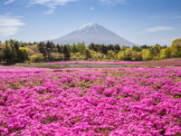Япония. Гора Фудзияма. Mountain Fuji and pink moss field in spring season. Фото Torsakarin - Depositphotos