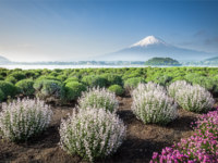 Mountain Fuji with spring flower garden in morning at Oshi park , Kawaguchiko lake , Yamanashi prefecture. Фото Torsakarin - Depositphotos