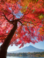 Япония. Гора Фудзияма. Red maple tree and Mountain Fuji at kawaguchiko lake in autumn season. Фото Torsakarin - Depositphotos