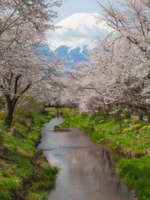 Beautiful Mountain Fuji and sakura cherry blossom in Japan spring season. Фото Torsakarin - Depositphotos